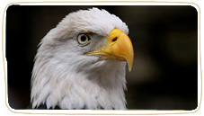 Animals-birds-owlseagles-eagles-bald